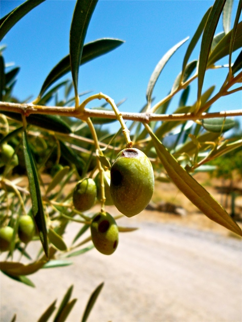 Olives in Andalucia