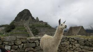 Llama at Manchu Picchu