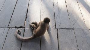 Spider Monkey, Amazon, Perú
